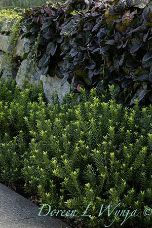 Euonymus japonicus 'Microphyllus' - Ajuga reptans 'Black Scallop'_7556