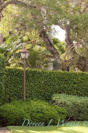 Ficus benjamina - Pittosporum tobira 'Variegata' double hedge_0046