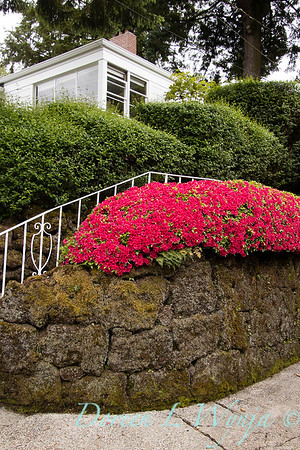 Azalea hedge - rock wall_5542