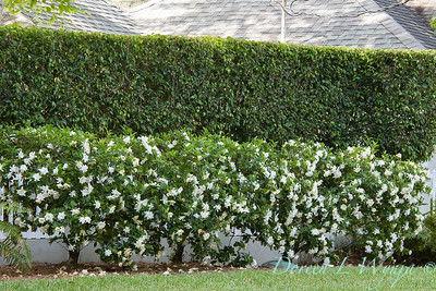 Gardenia jasminoides 'August Beauty' border - Ficus hedge_5560