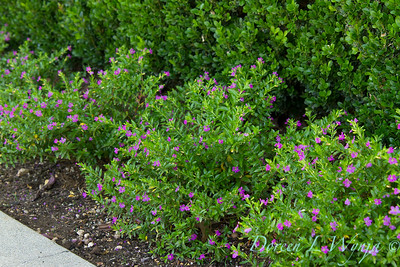 Cuphea hyssopifolia 'Monshi' border_1050