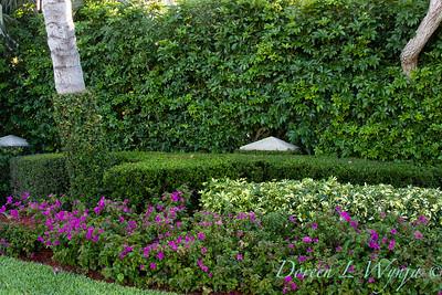 Bouganinvillea - Heptapleurum arboricola 'Variegata' - H  arboricola formal hedge_0050