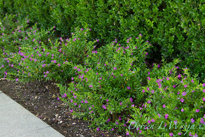 Cuphea hyssopifolia 'Monshi' border_1052
