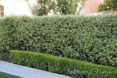 5142 Pittosporum tenuifolium 'Tasman Ruffles' - Buxus damage double hedge_549