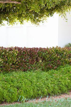 Asparagus densiflorus 'Sprengeri Compacta' hedge_0069