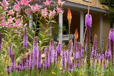 Liatris spicata cottage landscape_5275