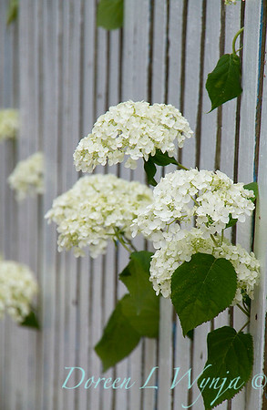 Hydrangea arborescens 'Annabelle' through the picket fence_2920