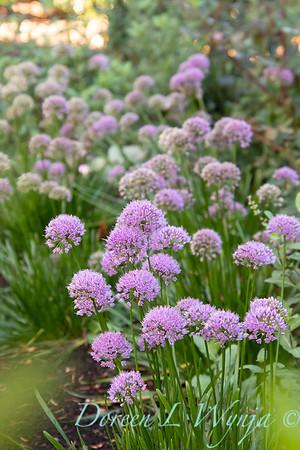 40056 Allium 'ALLMIG1' Millenium_5147