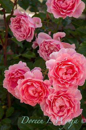 Rosa_1261