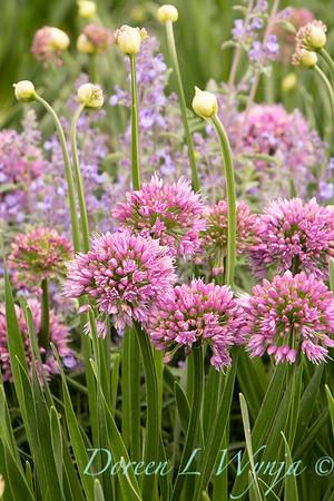 40056 Allium 'ALLMIG1' Millenium_3962