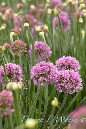 40056 Allium 'ALLMIG1' Millenium_3955