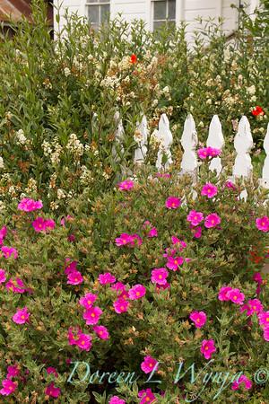Cistus crispus - Ligustrum vulgare - Cottage garden_1126