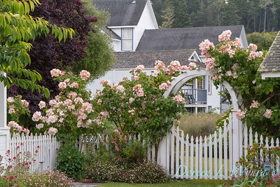 Rosa Sally Holmes - Erigeron karvinskianus - picket fence with rose arbor gateway_0298AMG -JJP