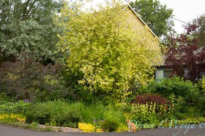 Cornus sericea Hedgerow's Gold_008
