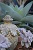 French garden finial - Graptoveria acaulis_0590