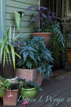 Begonia hybrid 'Gryphon' - container garden_0734
