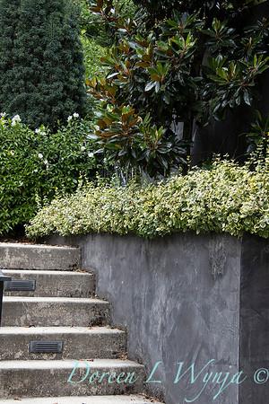 Euonymus fortunei 'Monce' - Magnolia planter box_7126