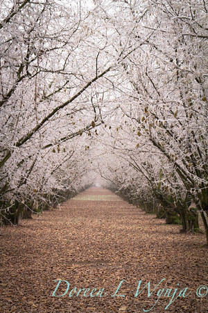 Filbert orchard winter frosted_9562