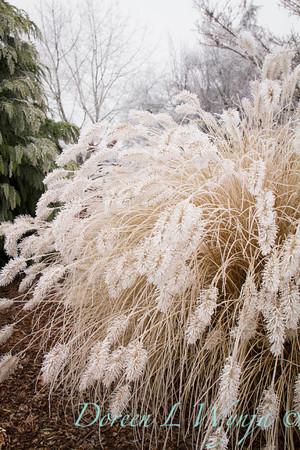 Pennisetum alopecuroides 'Hameln' - frost_9220