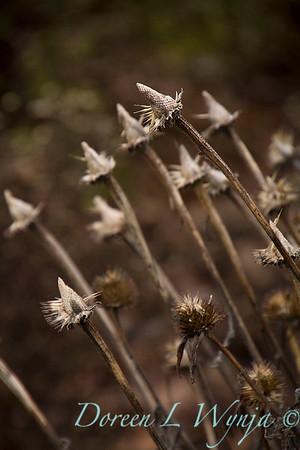3958 Echinacea purpurea 'Merlot' winter interest_7735