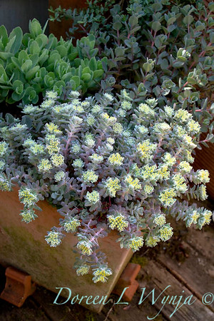 Sedum spathulifolium Cape Blanco in a terra cotta container or used as a succulent ground cover for xeric garden; succulent container gardening