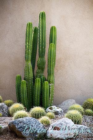 Echinopsis pachanoi - Echinocactus grusonii_002