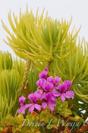 Crassula ovata 'Hummel's Sunset' and Senecio 'Himalaya' succulent container; modern container garden of chartreuse senecio and magenta geranium flowers