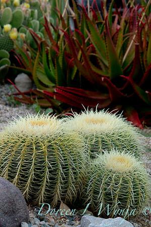 Echinocactus grusonii_035
