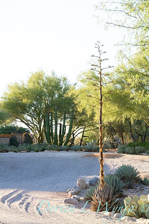 Agave bloom in Southwestern desert garden; a xeriscape dry garden in Arizona