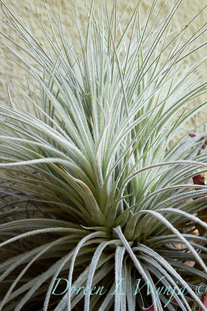Tillandsia gardneri; air plant; houseplant