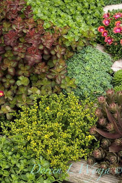 6501 Sedum acre succulent mixed bed_2687