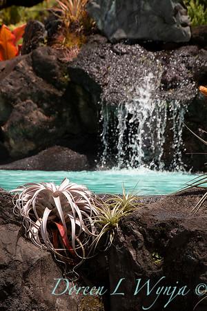 Tillandsia Xerographica - lava rock pool_1527