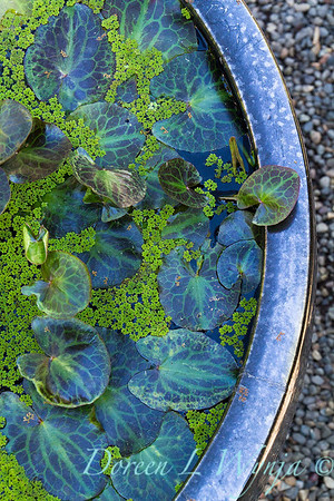 water lily bowl_2039