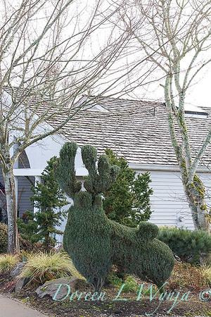 Juniperus scopulorum Wichita Blue_039