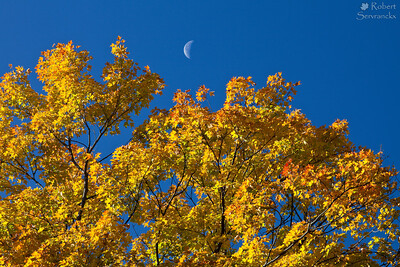 Moon and Maple Tree in Fall