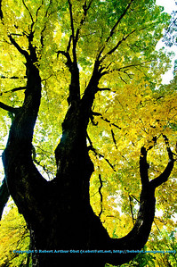 Autumn magic crowns gnarled Sugar Maple with golden crown by East Bluff Trail in Devils Lake State Park (USA WI Baraboo)