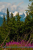 Snowy Mountains and Evergreens Tower over Fireweed near the Seward Highway and Turnagain Pass within the Kenai Peninsula of Alaska (USA Alaska Girdwood)