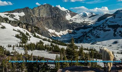 LI-Mountains_7186_ATO.WestUSACanada2014-USA.MT.GlacierNP.LoganPassArea.HiddenLakeNatureTrail.MountainGoatAtTheHeartOfHisDomaine-B (DSC_7186.NEF)