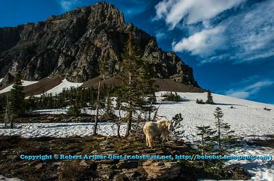 LI-Mountains_7169_ATO.WestUSACanada2014-USA.MT.GlacierNP.LoganPassArea.HiddenLakeNatureTrail.MountainGoatAtTheHeartOfHisDomaine-B (DSC_7169.NEF)