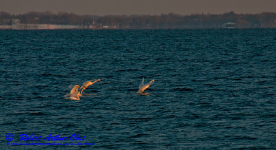 Cross country skiers view during winter with late afternoon light southeast across Lake Mendota from Governor Nelson State Park of snow geese swimming and taking off (USA WI Middleton; RAO 2013 Landscapes Inspirational Sea and Lake Shores Nikon D300s Image 4478)