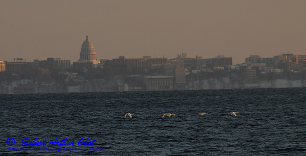 Cross country skiers view south across Lake Mendota from Governor Nelson State Park of snow geese flying and of the State of Wisconsin Capitol of Madison  (USA WI Middleton; RAO 2013 Landscapes Inspirational Sea and Lake Shores Nikon D300s Image 4479)
