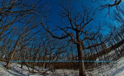 Cross country skier's blue skies view of oak trees from the Woodland Trail within Governor Nelson State Park (USA WI Waunakee; Obst FAV Photos 2013 Nikon D800 Landscapes Inspirational Winter Beauty Image 7720)