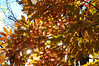 Light through Autumn Leaves