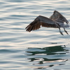 Pelican_Sunrise-14