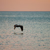 pelicans_sunset-2