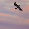 pelicans_sunset-3