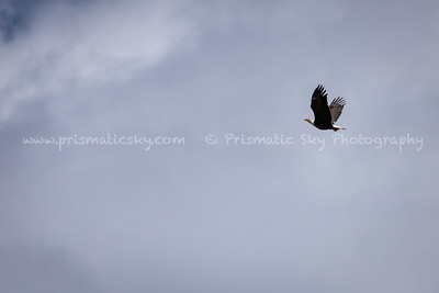 The bald eagle soars off with its stolen catch