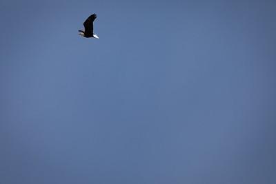 Enter the bald eagle