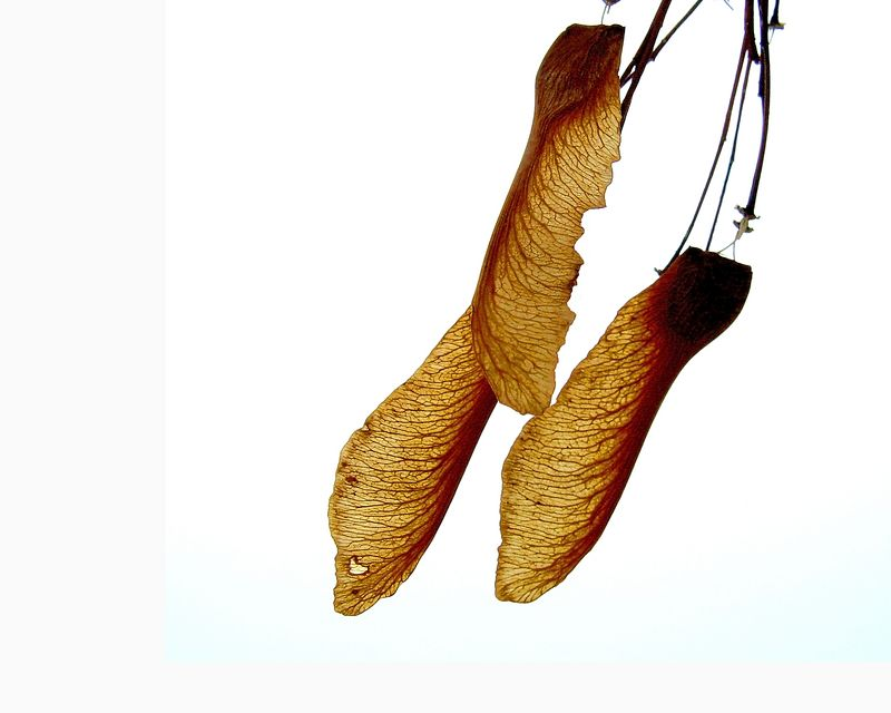 Maple Seeds<br /> <br /> Recommended Sizes: 4 x 5, 8 x 10, 16 x 20