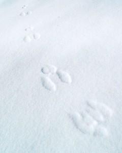 Rabbit Tracks, Logan Canyon, near Logan, Utah  Recommended Sizes: 4 x 5, 8 x 10, 16 x 20